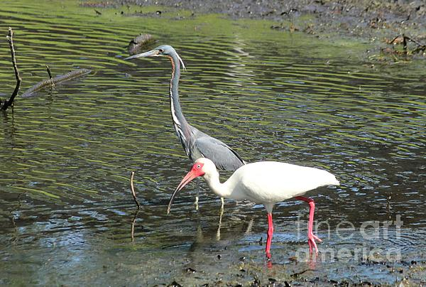Heron And Ibis Print by Theresa Willingham
