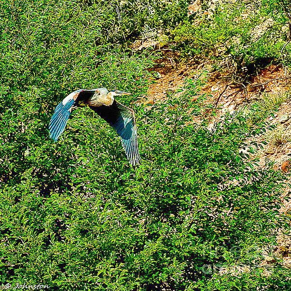 Heron Flies Over Oak Creek In Red Rock State Park Sedona Arizona Print by  Bob and Nadine Johnston