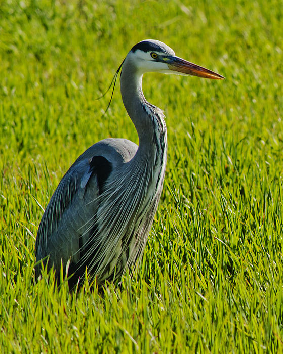 Heron In A Sea Of Green Print by Ben K
