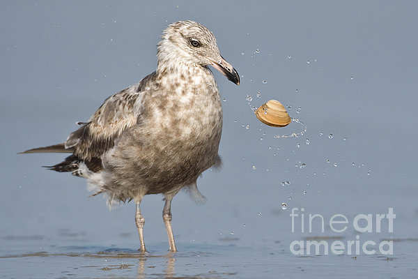 Jerry Fornarotto - Herring Gull tossing Clam
