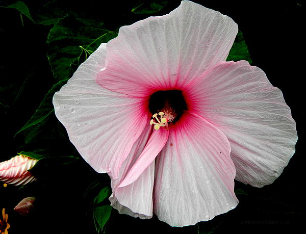 Kathy Barney - Hibiscus and Bud