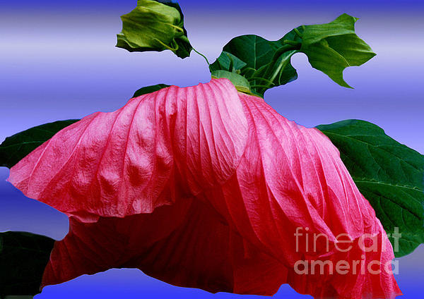 Hibiscus Bloom Wilted Print by ImagesAsArt Photos And Graphics