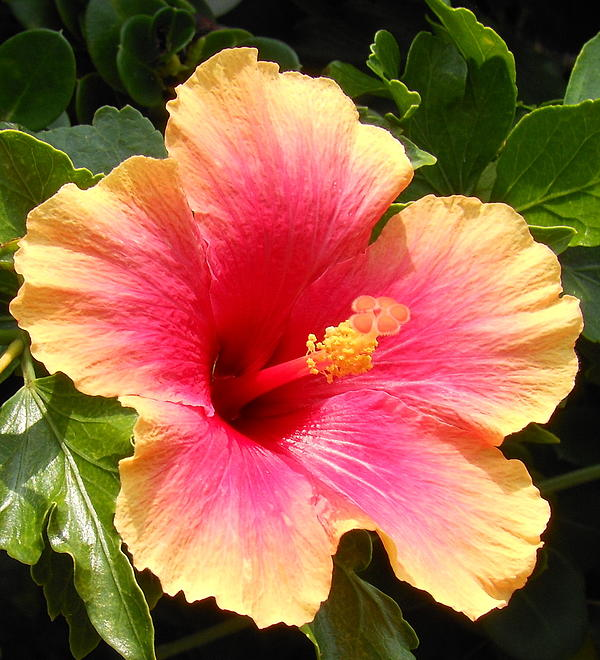 Hibiscus Print by Kay Gilley