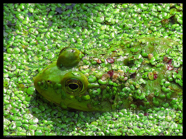Duane Loya - Hidden Green Frog