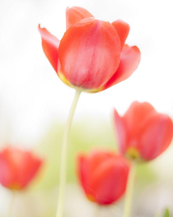 High Key Tulips Print by Adam Romanowicz