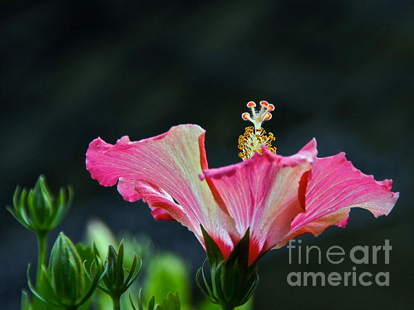 Byron Varvarigos - High Speed Hibiscus Flower