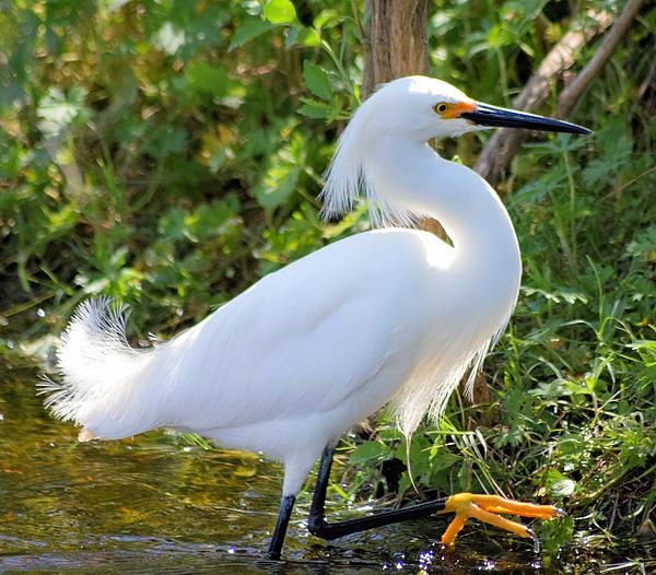 Sheri McLeroy - High Stepping Egret 1