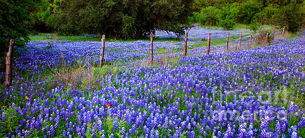 Hill Country Heaven Texas Bluebonnets Wildflowers