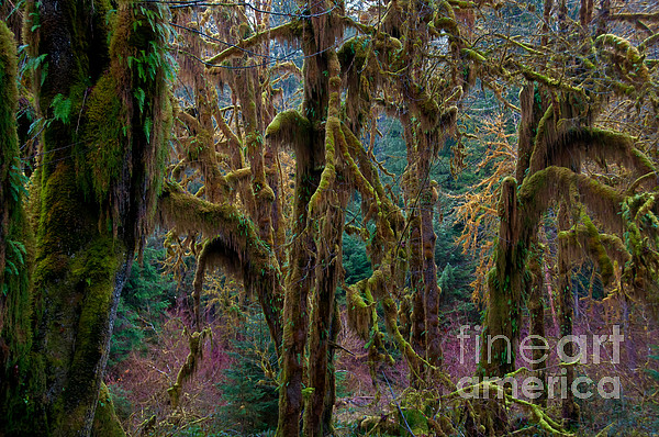 Hoh Rainforest, Olympic National Park Print by Mark Newman