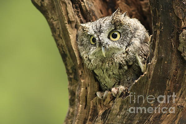 Inspired Nature Photography By Shelley Myke - Hollow Screech- Eastern Screech Owl