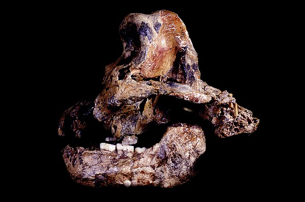 Homo Ergaster Skull (sk-847 And Sk-15) Print by Science Photo Library