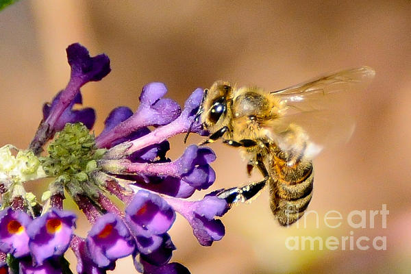 Honey Bee On Butterfly Bush Print by Jean A Chang