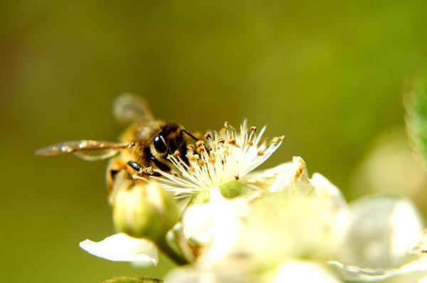 Honey Bee Two Print by Joshua Ward