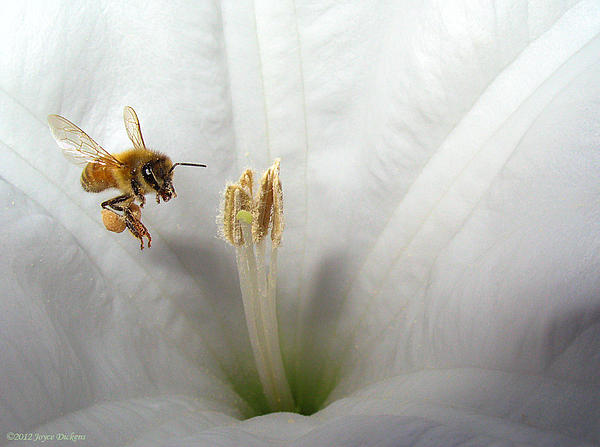 Joyce Dickens - Honey Bee Up Close And Personal