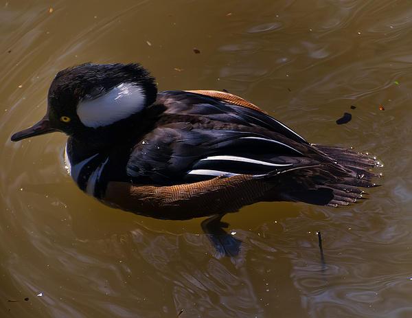 Chris Flees - Hooded Merganser Duck