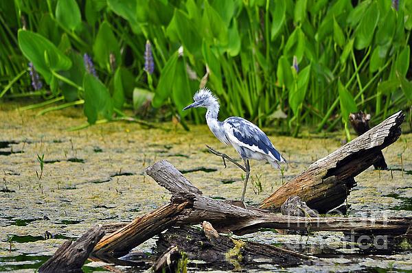 Hooligan Heron Print by Al Powell Photography USA