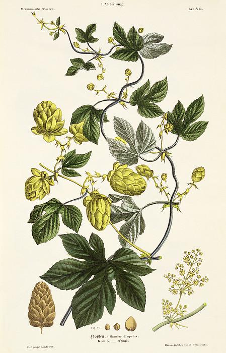 Hop Vine From The Young Landsman Print by Matthias Trentsensky