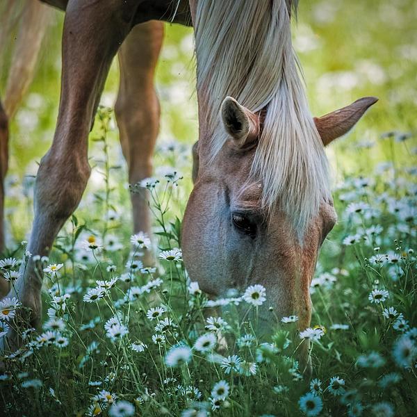 Paul Freidlund - Horse and Daisies