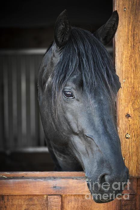 Horse In Stable Print by Elena Elisseeva