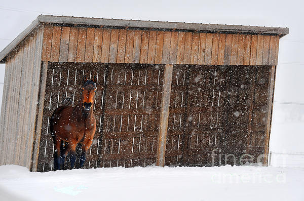 Horse Looking At Snow Storm Print by Dan Friend
