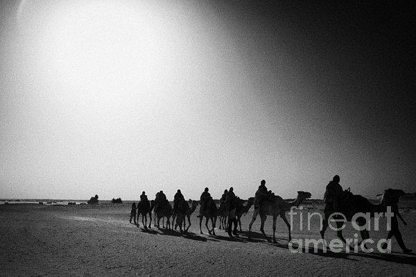 hot desert sun beating down on camel train in the sahara desert at Douz Tunisia Print by Joe Fox