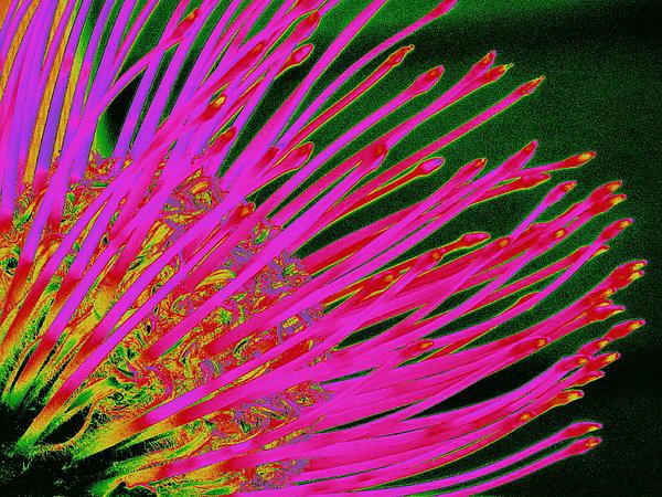 Hot Pink Protea Print by Ranjini Kandasamy