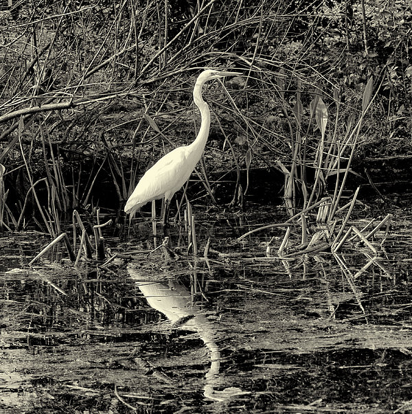 Houston Wildlife Great White Egret Black And White Print by Joshua House