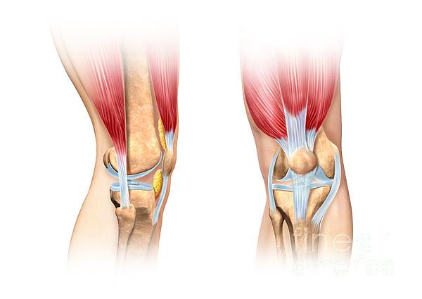 Human Knee Cutaway Illustration Print by Leonello Calvetti