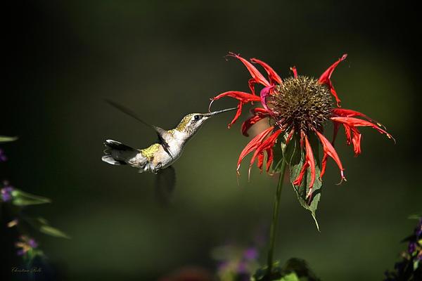 Hummingbird Garden Angel Print by Christina Rollo
