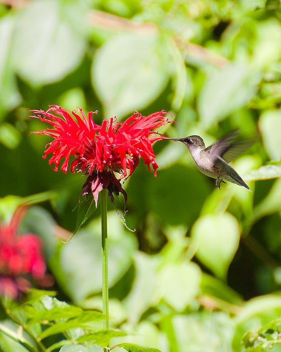 Wayne Valler - Hummingbird