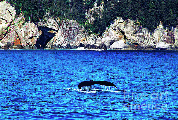 Humpback Whale Alaska Print by Thomas R Fletcher