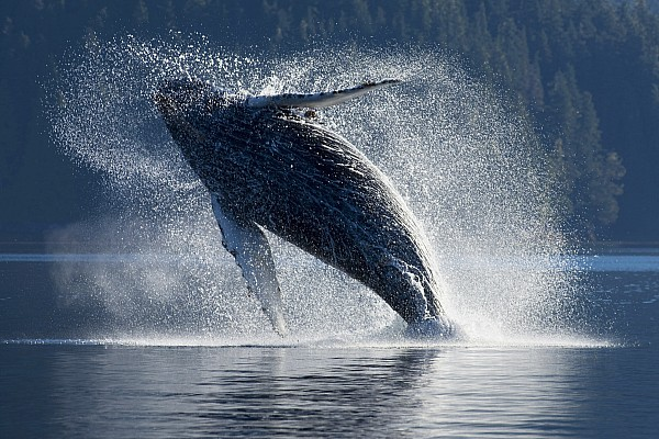 Humpback Whale Breaching In The Waters Print by John Hyde