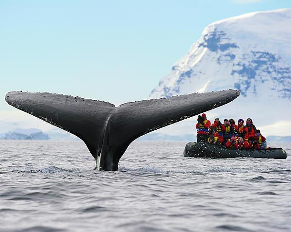 Tony Beck - Humpback Whale Fluke