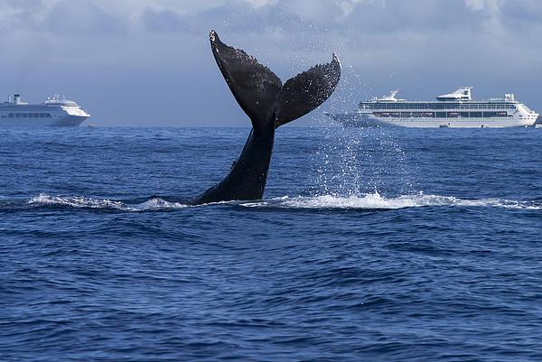 Humpback Whale Tail Lobbing In Maui Print by Flip Nicklin