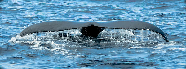 Humpback Whale Tail Off Bermuda Print by Jeff at JSJ Photography