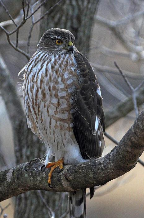 Jonathan E Whichard - Hungry Hawk