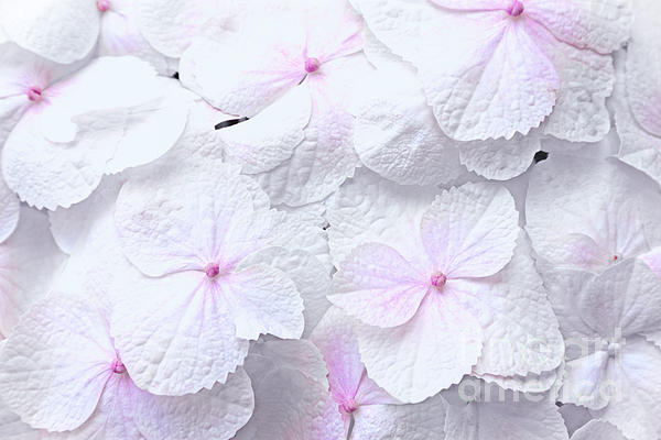 Hydrangea White And Pink Print by Charline Xia