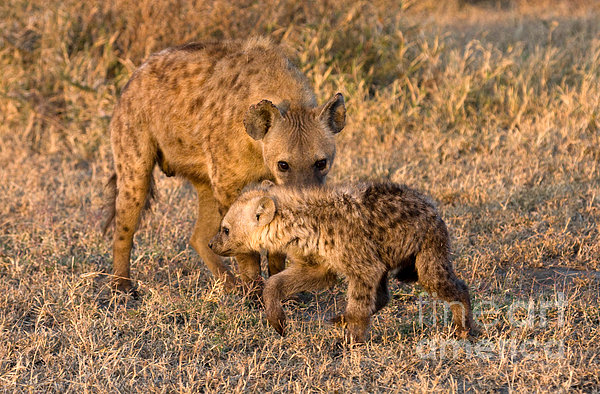 Hyena Mother And Cub Print by Chris Scroggins