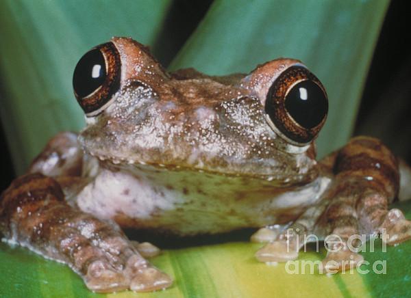 Hyla Vasta Tree Frog Print by Jeff Lepore