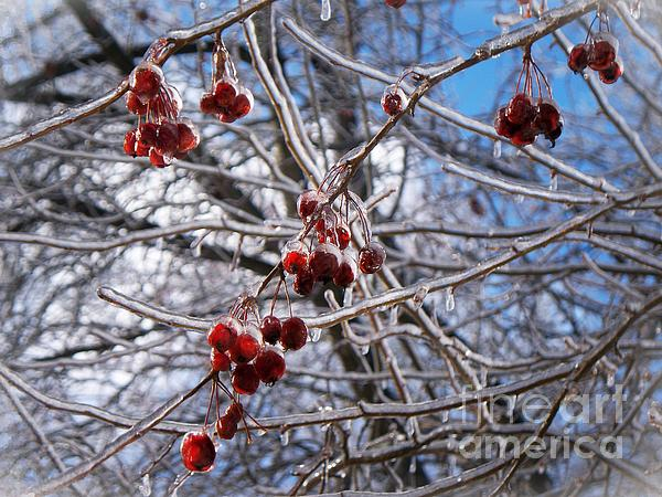 Ice On The Crab-apples Print by Joy Nichols