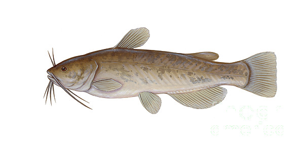 Illustration Of A Brown Bullhead Print by Carlyn Iverson