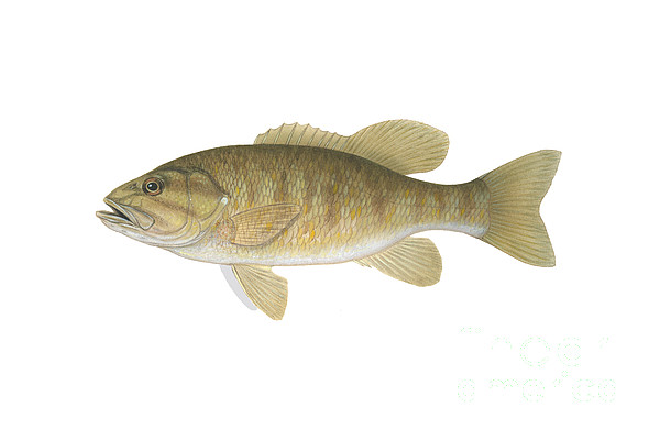 Illustration Of A Smallmouth Bass Print by Carlyn Iverson