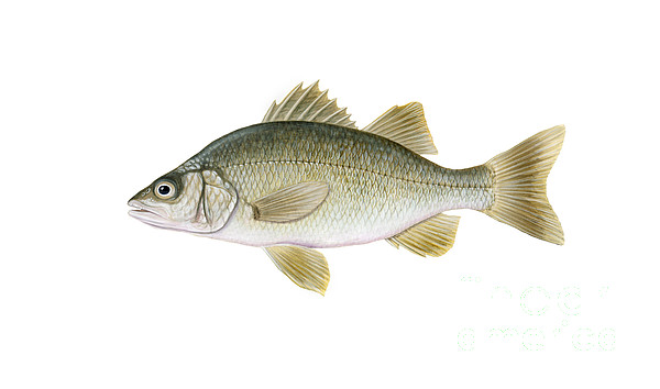 Illustration Of A White Perch Morone Print by Carlyn Iverson