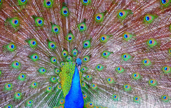Indian Peacock Print by Deena Stoddard