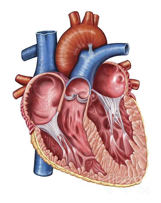 Interior Of Human Heart Print by Stocktrek Images
