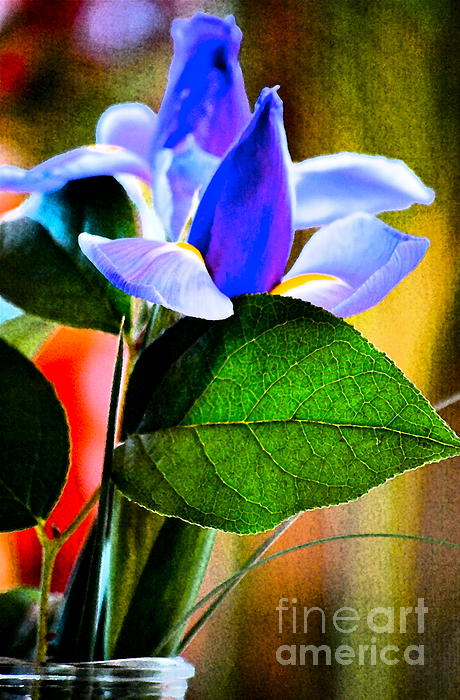 Iris Carried Away Print by Gwyn Newcombe