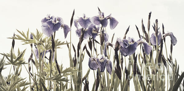 Iris In The Park Print by Priska Wettstein