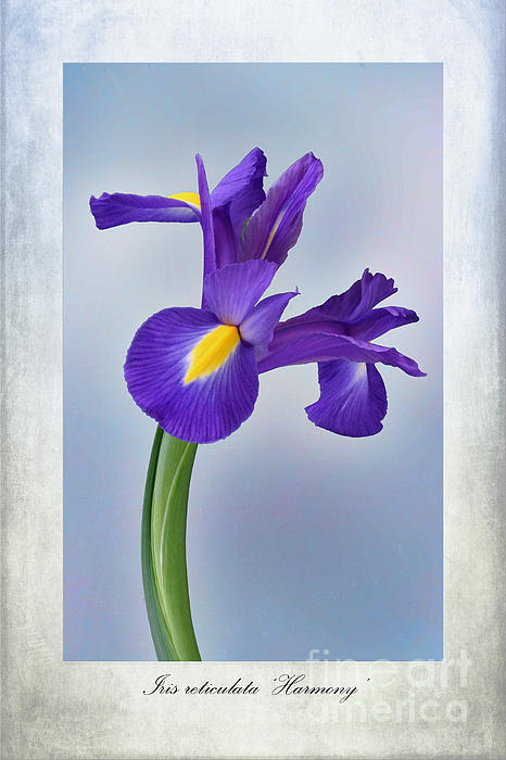 Iris Reticulata Print by John Edwards