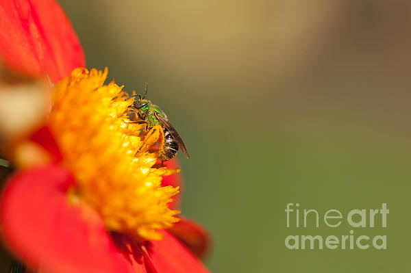 It Is All About The Buzz Print by Reflective Moments  Photography and Digital Art Images