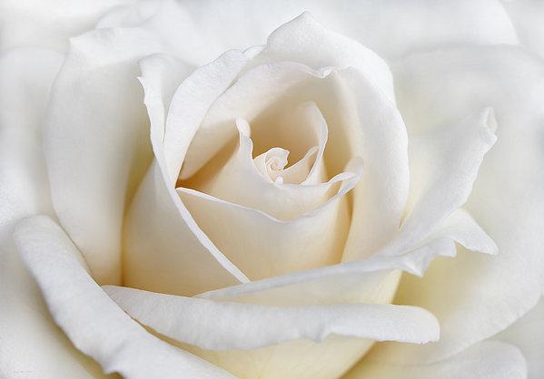 Ivory Rose Flower Print by Jennie Marie Schell